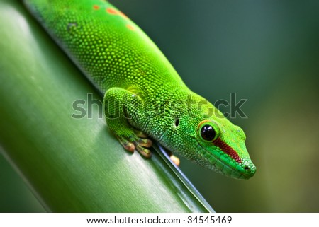 Green madagascarian gecko on the palm tree