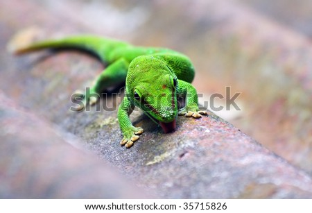Green madagascarian gecko on the roof - stock photo