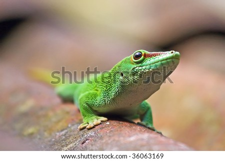 Green madagascarian gecko on the roof