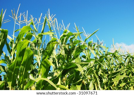 Green maize against blue sky - stock photo