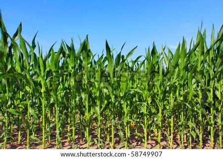 green maize field - stock photo