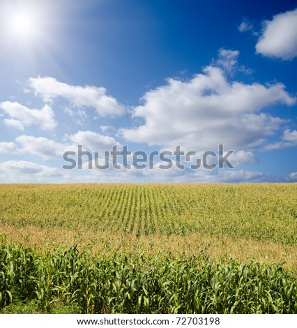 green maize field under blue sky with sun - stock photo