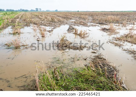 Green maize stubble field with large pools of water after abundant rain - stock photo