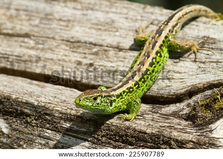 Green male sand lizard on a piece of wood.  - stock photo