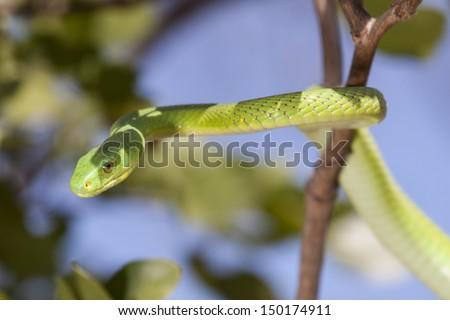 Green Mamba (Dendroaspis viridis) - stock photo