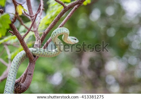 Green mamba in a tree, South Africa. - stock photo