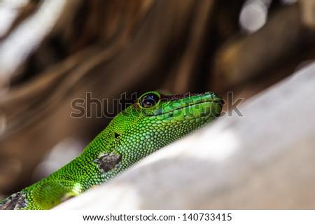 Green mamba, Madagascar - stock photo
