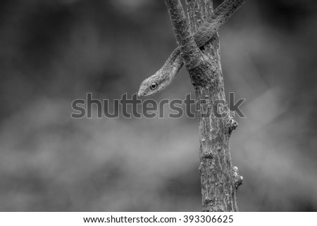 Green mamba on a branch in black and white - stock photo