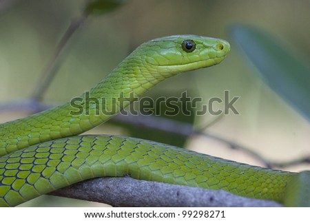 Green Mamba snake (Dendroaspis angusticeps), South Africa - stock photo
