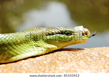 Green Mamba Snake With a Taped Mouth - stock photo