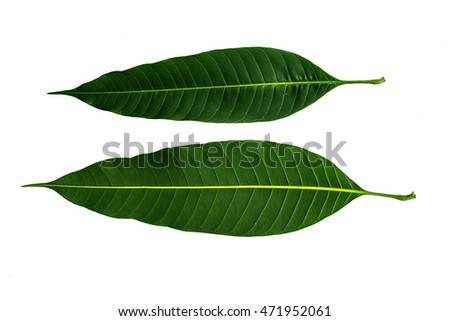 Green mango leaf isolated on white background.