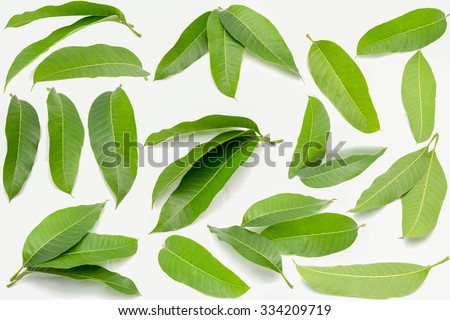Green mango leaves - stock photo