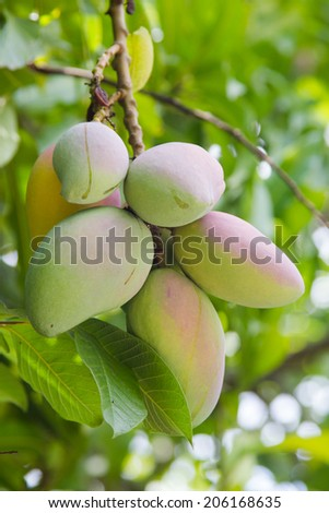 Green mangoes fruits (Mangifera indica)hanging from the tree in El Salvador farm. - stock photo