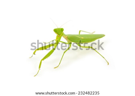 Green mantis isolated on a white background  - stock photo