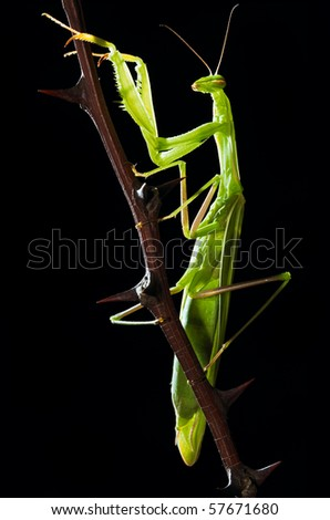 Green mantis sitting on thorny sprig