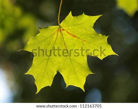 Green maple leaf - stock photo