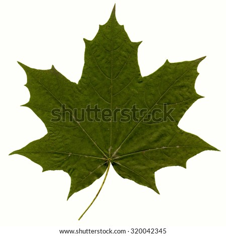 Green maple leaf as spring-summer season theme of nature isolated on white background. - stock photo