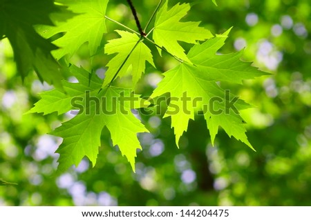 Green maple leaf in spring - stock photo