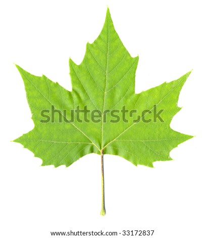 Green Maple Leaf isolated - stock photo