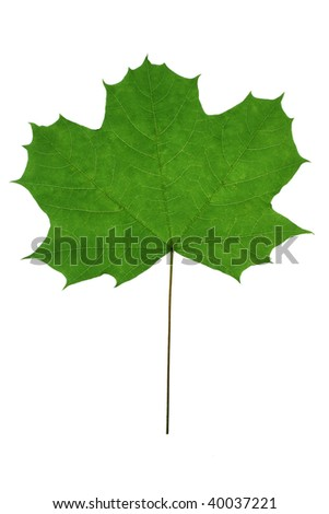 green maple leaf isolated on a white background