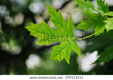 Green maple leaf on a branch in the summer, after the rain