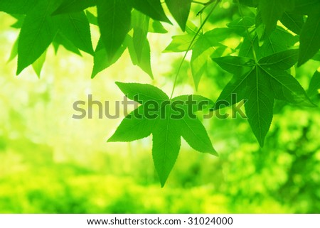 Green maple leaves.