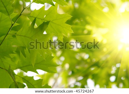 Green maple leaves - stock photo