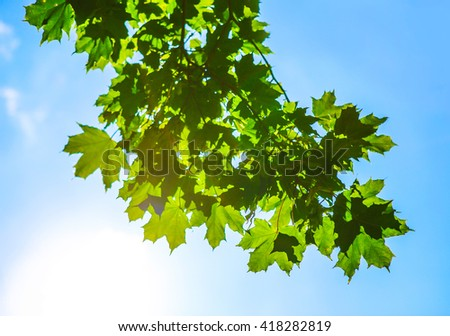 green maple leaves against the bright sky - stock photo