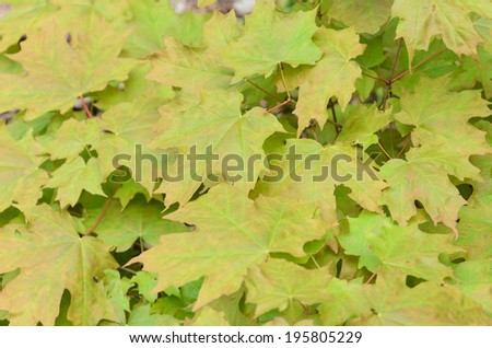 Green maple leaves background. May, spring, Ontario, Canada