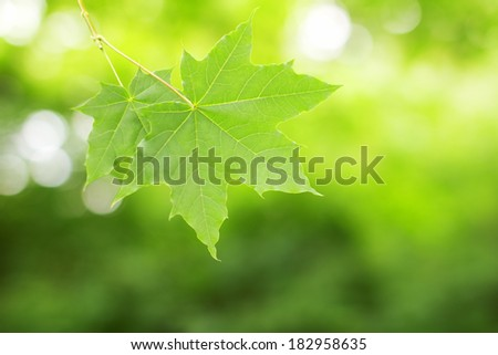 Green maple leaves close-up. Selective focus (shallow depth of field).  - stock photo