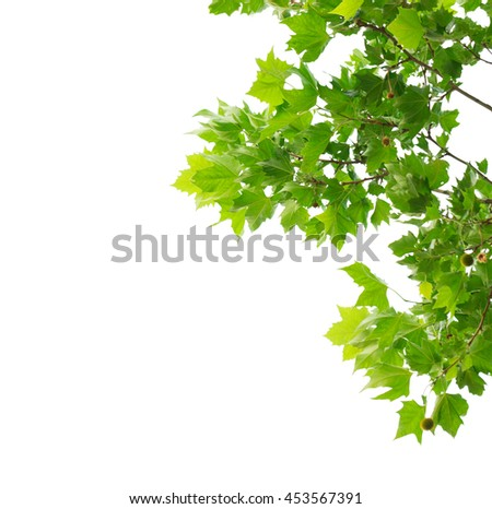 Green maple leaves isolated on white background. Object with clipping path. - stock photo