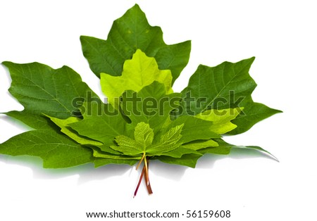 Green Maple leaves stacked on top of each other in order of size on a white background