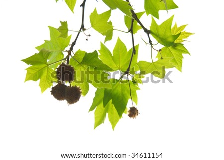 Green maple leaves with branch isolated on white background. - stock photo