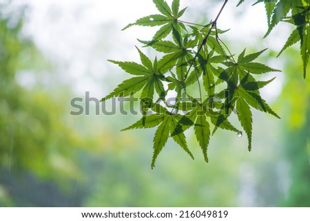 Green maple leaves with raining