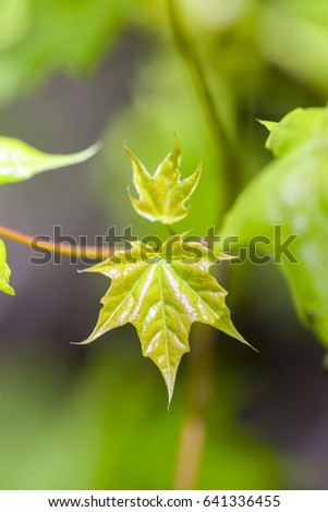 Green maple tree branch in spring