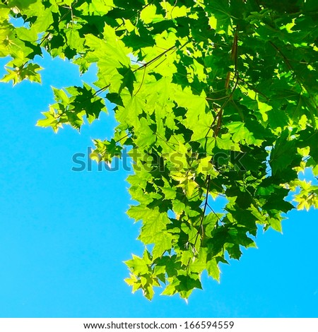Green maple tree over the blue sky