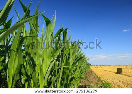 green, maturing corn - stock photo