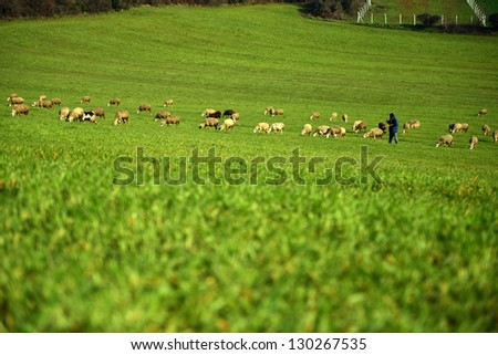 green meadow and Sheep Grazing