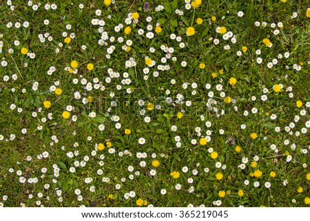 green meadow is full of many beautiful  white daisies and yellow dandelions - stock photo
