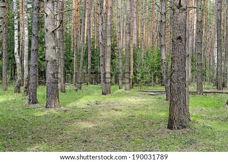 Green meadow with big pine trunks in spring forest