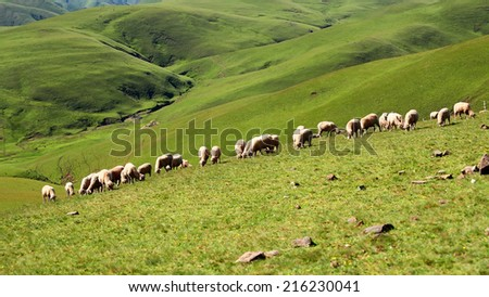 Green meadow with flock of sheep at Huizher Mountains of Kunming, Yunnan, China  - stock photo