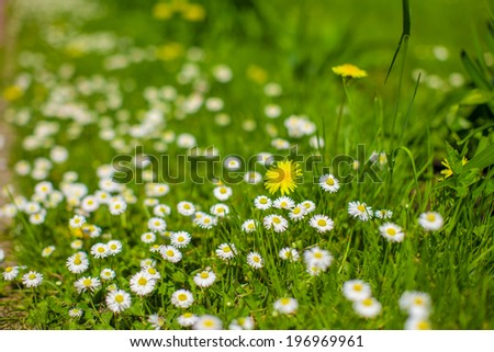 Green meadow with small white daisies