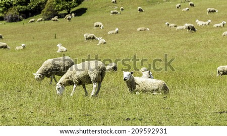Green meadows with sheep grazing in a beautiful area of Queenstown, New Zealand - stock photo