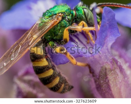 Green metallic sweat bee dives headfirst into purple flower for pollen