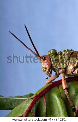 Green Milkweed Locust on a spinach leaf - stock photo