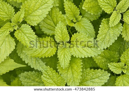 Green Mint leaves background