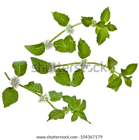 green mint leaves blooming isolated on white - stock photo