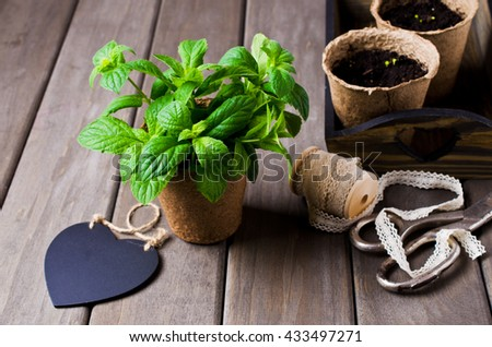 Green mint sprouts in a pot on a wooden background. Selective focus.