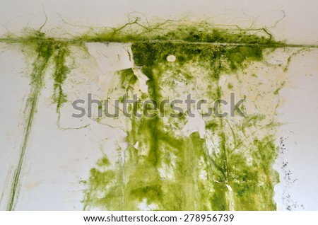 Green mold on the white ceiling and wall, with two light switch on the right - down side. - stock photo