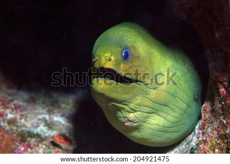 Green moray eel (Gymnothorax funebris) underwater in the coral reef of the caribbean  - stock photo